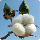 Technologies Improved Production Technology For Cotton