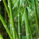 Technologies Thronless Bamboo